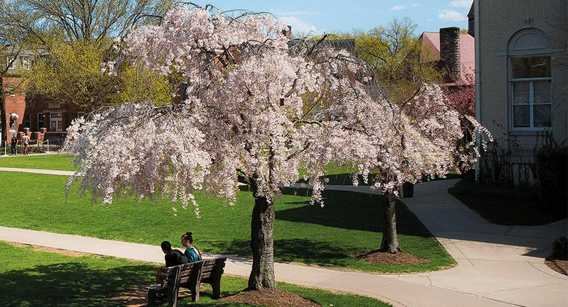 Photo of a flowering tree on campus